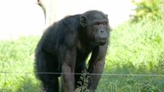Stock Video Footage of A small gorilla ape standing on the grass field