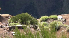 4k Red-legged partridge on Madeira mountain dolly shot Stock Footage