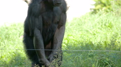 A black ape standing on the grasses Stock Footage
