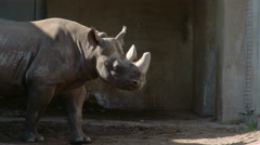 A big brown rhinoceros walking on the grass Stock Footage
