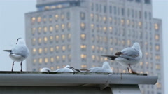 White pigeon birds on the roof of a building Stock Footage