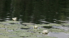 The waterlilies on the lake floating Stock Footage