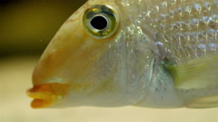 A golden fish eyes and bubbly mouth Stock Footage
