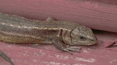 A viviparous lizard sticking on the wood Stock Footage