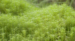 Green bushy grasses on the lake side - stock footage