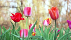 Close-up View of Colorful Tulips Stock Footage
