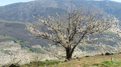 Cherry tree nearly devoid of flowers in plantation on slope Stock Footage