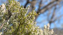 Branch with little flowers moved by the wind Stock Footage