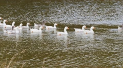 Geese on a pond Stock Footage