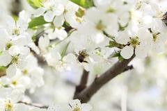 Flowering branch of cherry Stock Photos