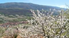 Pan on valley of cherries with red roofed town, tree in bloom - stock footage