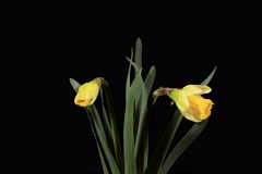 4K. Yellow narcissus blossom buds ALPHA matte, Ultra HD (Narcissus Ice Follies). Stock Footage