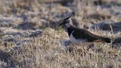 Northern Lapwing bird in grassland Stock Footage