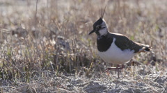 Northern Lapwing bird in grassland - stock footage