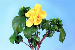 4K. Blooming yellow Hibiscus flower buds blue screen, (Hibiscus Valencia) Stock Footage