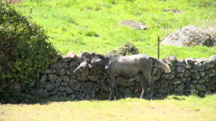 Horse by a stone wall in grass field, back lit - stock footage