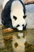 Panda near water Stock Photos