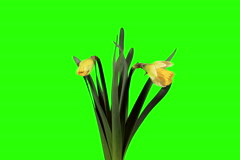 4K. Yellow narcissus blossom buds green screen, Ultra HD (Narcissus Ice Follies) Stock Footage