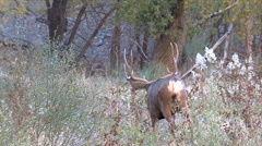 Slow Motion Shot of Buck Going Away Stock Footage