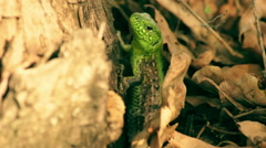 Macro shot of the green lizard in foliage Stock Footage