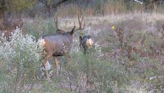 Courting Buck Follows Hot Doe In High Weeds Over Pipeline Stock Footage