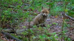Fox puppies in springtime Stock Footage
