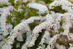 White spirea blooming in beautiful hedge Stock Photos