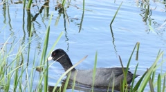Black coot floats and plunge at the lake shore - Fulica atra Stock Footage