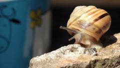 Snail coming out from his house in the sunlight. Stock Footage