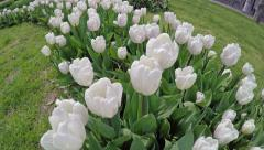 Overfly a variety of white tulips - stock footage