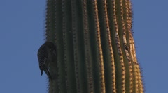 Woodpecker on Large Cactus - stock footage