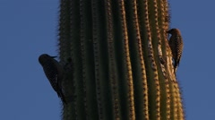 A Pair of Woodpeckers on a Cactus Stock Footage