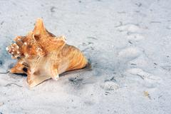 Conch shell in the sand with copy space Stock Photos