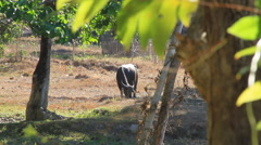 Water buffalo grazing Stock Footage