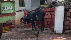 Cow and chicken in a rural street in Goa. Stock Footage