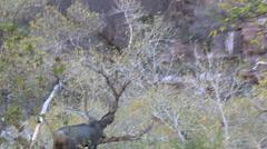 A Mule Deer Buck Trots in Woods Stock Footage