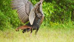 Wild Turkey Gobbler Stock Footage