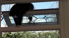 Domestic cat through window opening Stock Footage