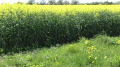 Rapeseed crop with grassy track - stock footage