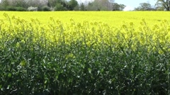 Rapeseed blowing in the breeze Stock Footage