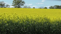 Rapeseed crop aith trees on horizon - stock footage