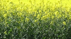Rapeseed in the wind Stock Footage