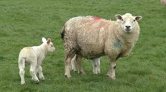 Sheep and lambs in a meadow Stock Footage