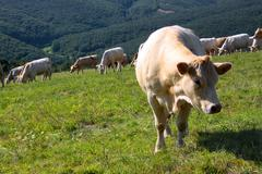 Charolais and Jersey cattle on the alp pasture, Slovakia - stock photo