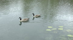 Canada Geese Stock Footage