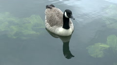 Lone Canada Goose Stock Footage