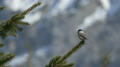 Willow tit (Poecile montanus) on a spruce branch. Stock Footage