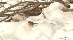 Common chaffinch (Fringilla coelebs)  in the snow. Stock Footage