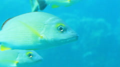 School of Tropical Fish Off the Pacific Island of PALAU Stock Footage