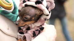 Small Dog in Clothes on Womans Hands Stock Footage